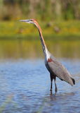 Goliath Heron Royalty Free Stock Image