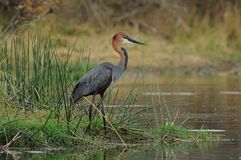 Goliath Heron Royalty Free Stock Photography