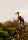 The Goliath Heron Royalty Free Stock Photography