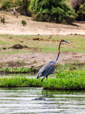 Goliath heron Stock Images