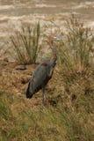 Goliath Heron Stock Afbeelding