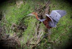 Goliath Heron Royalty-vrije Stock Foto's