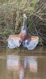 Goliath Heron Photos stock