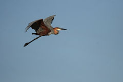 Goliath Heron royalty free stock image