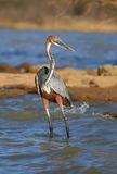 Goliath heron. Watchful Goliath heron standing in water fishing Stock Image