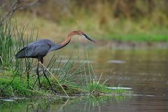Goliath Heron (Ardea goliath) stock images