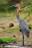 Goliath Heron (Ardea goliath) royalty free stock image