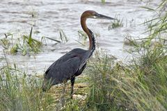 Goliath heron (Ardea goliath) Royalty Free Stock Photo