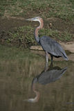 Goliath heron,  Ardea goliath Stock Photos