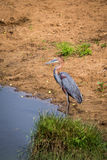 Goliath heron Ardea goliath Standing next to River, South Africa Royalty Free Stock Photos