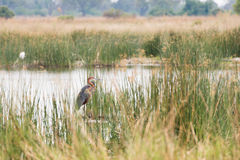Goliath Heron Stock Photo