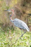 Goliath heron with bent neck in undergrowth Royalty Free Stock Photo