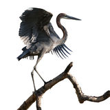 Goliath Heron On Branch Stock Photos