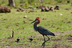 Goliath heron is defending its territory, Lake Baringo, Kenia stock photos