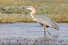 Goliath Heron with fish in beak Royalty Free Stock Photos