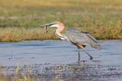 Goliath heron with fish in his mouth Royalty Free Stock Images