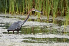 Goliath Heron Fishing Stock Photography