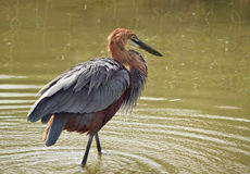 Goliath heron fishing. A large Goliath heron fishing in wetlands in South Africa. Species:  Ardea goliath Royalty Free Stock Photo