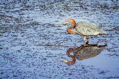 Goliath heron fishing in Kruger National park Stock Images