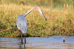 Goliath heron fixated on fish Royalty Free Stock Photos