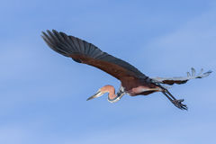 Goliath Heron Flying Photographie stock