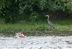 Goliath Heron and Hippo in Africa Stock Photo