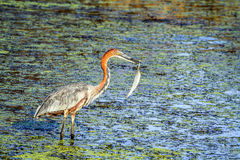 Goliath heron holding a feather in its beak, in Kruger National park Royalty Free Stock Image