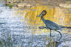 Goliath heron holding a fish in Kruger National park Royalty Free Stock Photo