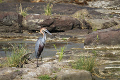 Goliath heron in Kruger National park Royalty Free Stock Photo