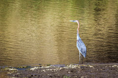 Goliath heron in Kruger National park Stock Photography
