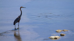 Goliath heron in Kruger National park Royalty Free Stock Images