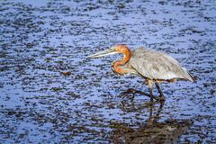 Goliath heron in Kruger National park Stock Image