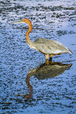 Goliath heron in Kruger National park Stock Photos