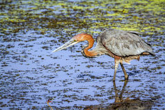 Goliath heron in Kruger National park Stock Images