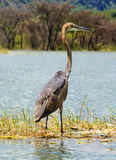 Goliath Heron , Lake Baringo, Kenya Royalty Free Stock Photography