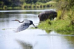 Goliath Heron  Stock Photos