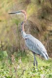 Goliath heron perched in vegetation near lake Royalty Free Stock Photography