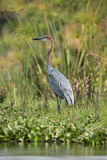 Goliath heron in profile standing in undergrowth Stock Image