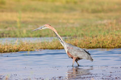 Goliath heron searching for food Stock Photos