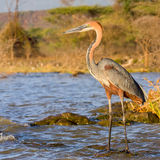 Goliath Heron Standing, Fishing Stock Photography