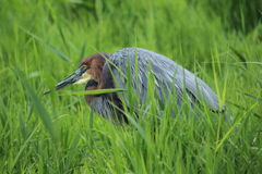 Goliath heron Stock Photography