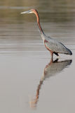 Goliath heron walking in water searching fish to catch Royalty Free Stock Photo