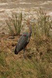 Goliath Heron. The Heron was next to a river in the reeds looking for fish Stock Image