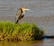 Goliath Heron watching Stock Image