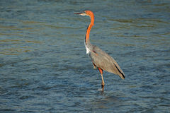 Goliath heron in water Royalty Free Stock Image