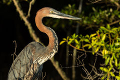 Goliath Heron in water South Africa Stock Photography
