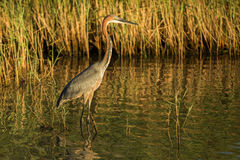 Goliath Heron in water South Africa Stock Images