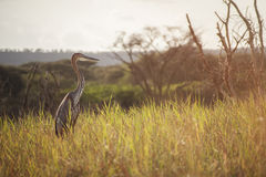 Goliath Herron. Royalty Free Stock Image