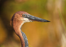 Goliath portrait. Goliath heron close up, South Africa Royalty Free Stock Photo