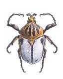 Goliathus (escarabajos de Goliath) Fotos de archivo